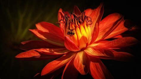 Dahlia Flowers Red Color 4k Ultra Hd Wallpaper For Desktop