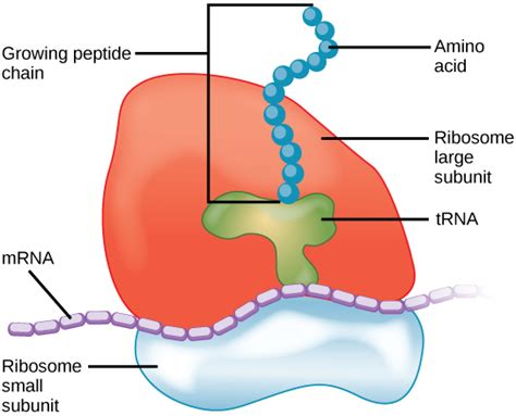 difference  lysosome  ribosome structure