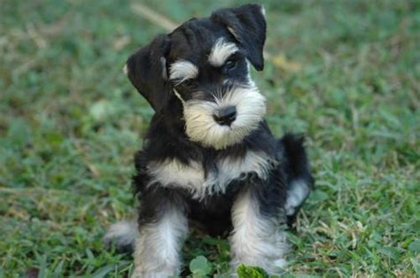 cute dogs miniature schnauzer puppies