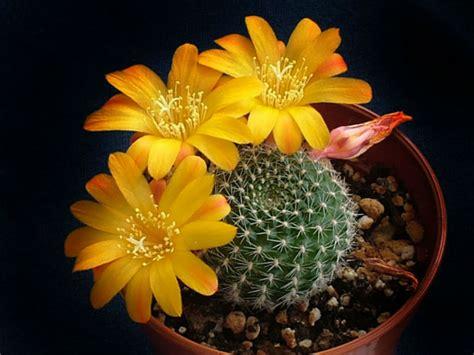 rebutia marsoneri krainz crown cactus world  succulents