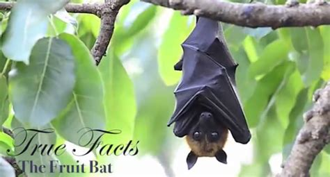 true facts about the fruit bat video
