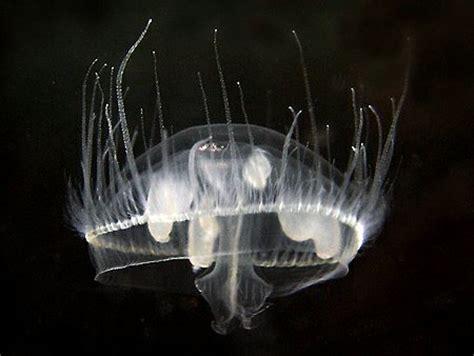 meduse d eau douce aquarium meduse d eau douce aquarium 28 images des m 233 duses en eau douce 187 aqua photo la m 233