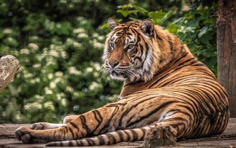Download 600x1024 Tiger, Lying Down, Predator, Big Cats