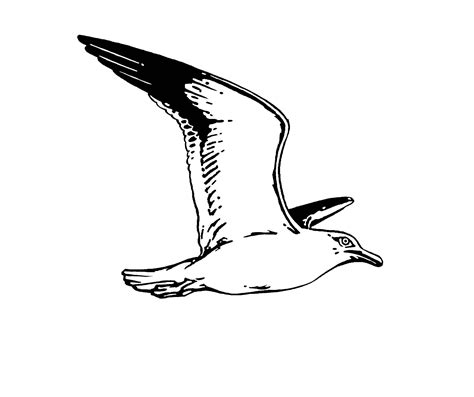 Seagull Clipart Black And White Pencil And In Color