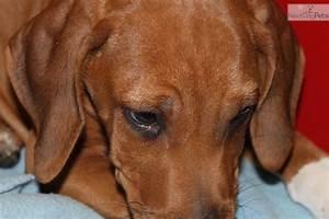 Meet AKC--RR Socks Male a cute Rhodesian Ridgeback puppy ...