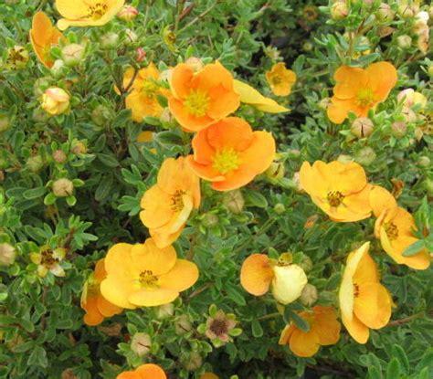 Potentilla fruticosa 'Hopley's Orange' - Parastā klinšrozīte