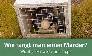 Wie Fange Ich Einen Marder : wie fange ich einen marder hilfe tipps ~ Frokenaadalensverden.com Haus und Dekorationen
