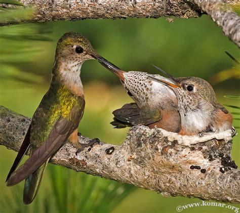 hummingbird nest exceptional photos capture closeup of hummingbird nest backyard chirper blog