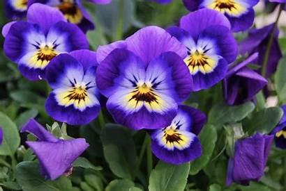 Flower Viola Cool Morflora Season Growing Flowers