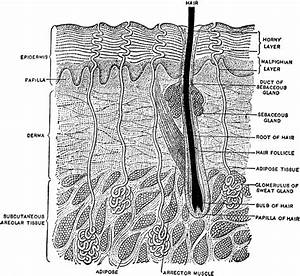 Vertical Section Of The Skin