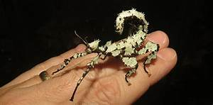 Meet The Prickly Stick Insects