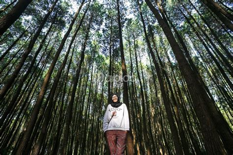 hutan pinus mangunan kidung sunyi pinus merkusii