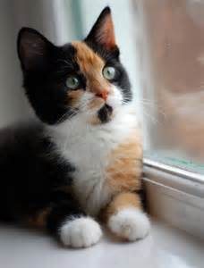 calico cat we all a calico kitten don t we cat