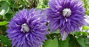 Blühende Kletterpflanzen Winterhart Mehrjährig : waldrebe pflanzenportr t wyss ~ Michelbontemps.com Haus und Dekorationen