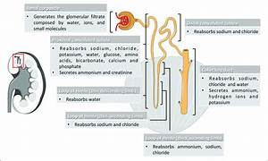 Nephron Segments And Their Main Physiological Function