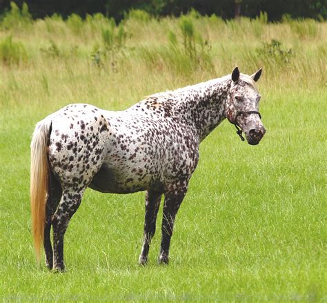 appaloosa horse leopard horses dot polka spotted grey flickr pretty brown paint pony appy markings they spots chicken anyone kind