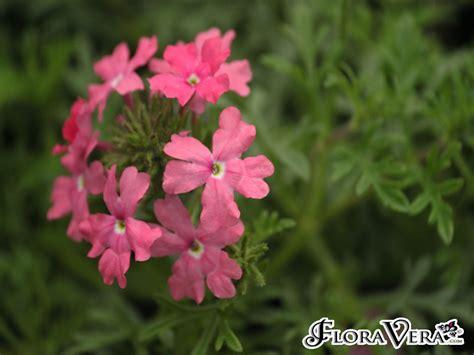 Verbena X Hybrida Floravera