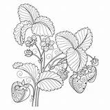 Coloring Fruit Pages Adult Adults Strawberry Background Vector Monochrome Plant Fruits Hand Pattern Sheets Colouring Drawn Decorative Coloringbookfun Printable Easy sketch template