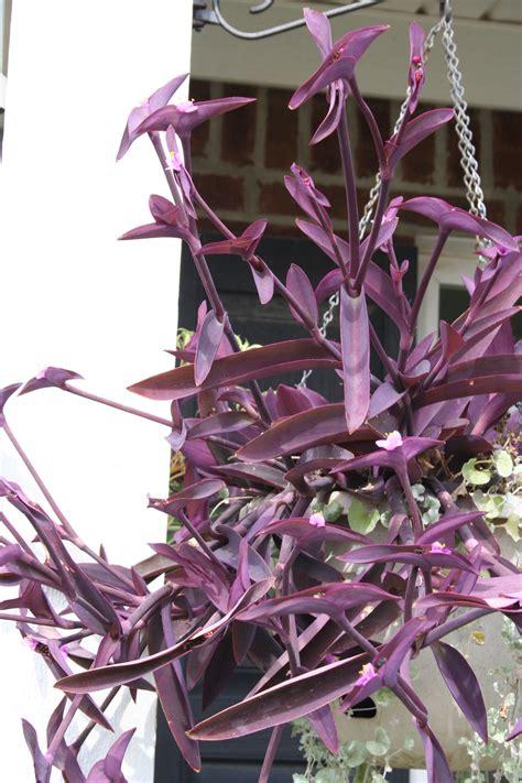 purple flower vine plants easy color in geranium purple heart and sweet potato planter