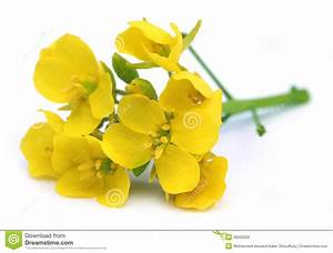 Edible mustard flowers stock photo. Image of flowers ...