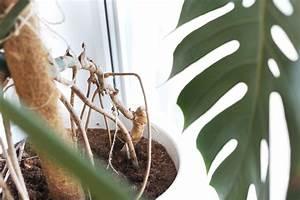 Geranien Vermehren In Wasser : so vermehrt ihr eure monstera pflanze im wasser bonny ~ Watch28wear.com Haus und Dekorationen