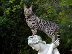 bengal cat cost most expensive around the world