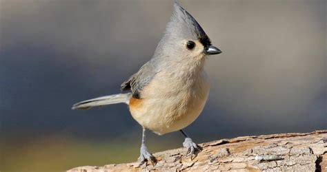 tufted titmouse overview   birds cornell lab