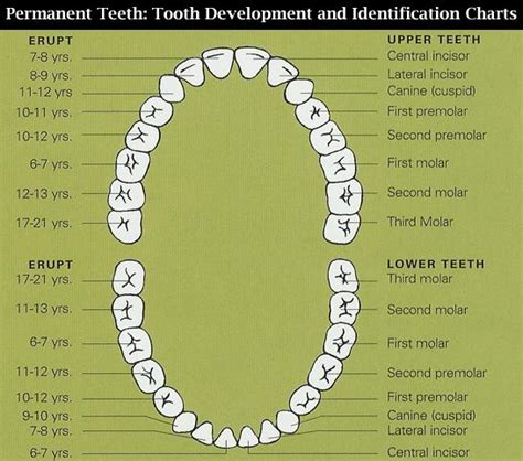 Tooth Diagram Chart by Tooth Diagram Chart Free Car Wiring Diagrams