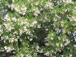 Bush with White Bell-Shaped Flowers