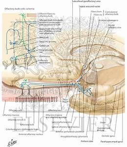 Olfactory Nerve  Schema