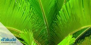 Zimmerpflanze Große Blätter : pflanzen im schlafzimmer 14 gesunde zimmerpflanzen ~ Lizthompson.info Haus und Dekorationen