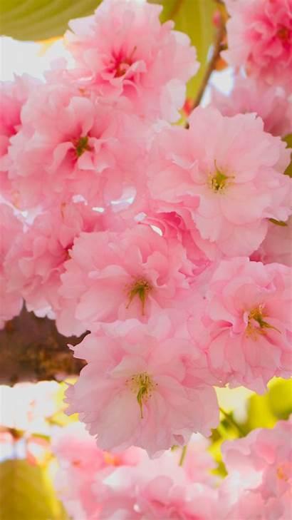 Blossom Cherry Iphone Blossoms Pixelstalk Wiki Mobile