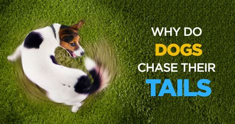 why do dogs their why do dogs chase their tails is it a sign of mental illness