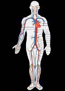 Simple Human Circulatory System Diagram