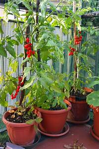 Quand Planter Les Tomates Cerises : le semis de tomates et le repiquage des plants les ~ Farleysfitness.com Idées de Décoration