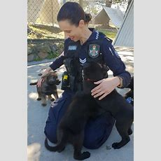 Introducing The O Litter Police Pups  Mirage News