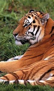 Tiger, Wildlife, Bengal Tiger wallpaper 🔥 TOP Free wallpapers