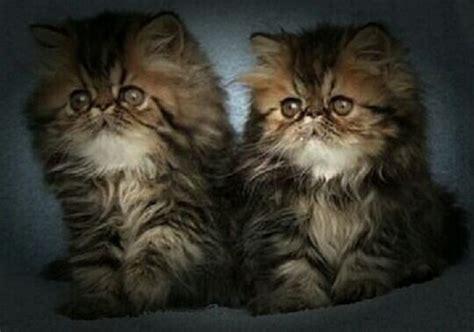 foto persiani 2 gattini persiani e bianchi svegli immagini stock