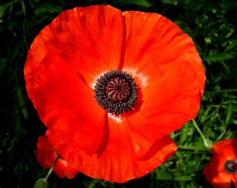 memorial poppy flower red poppy flower car interior design