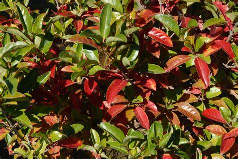 Zimmerpflanze Rote Blätter by Gummibaum Bekommt Rote Bl 228 Tter 187 Woran Kann S Liegen