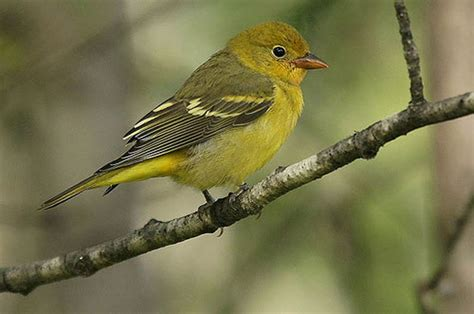 funny image collection blue bird western tanager