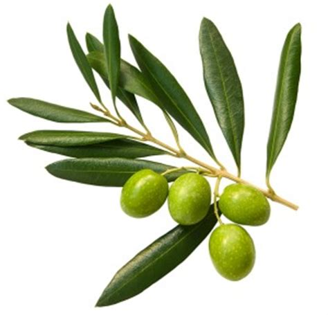 olive tree leaves olive leaf extract herpes cure can it cure herpes 1179