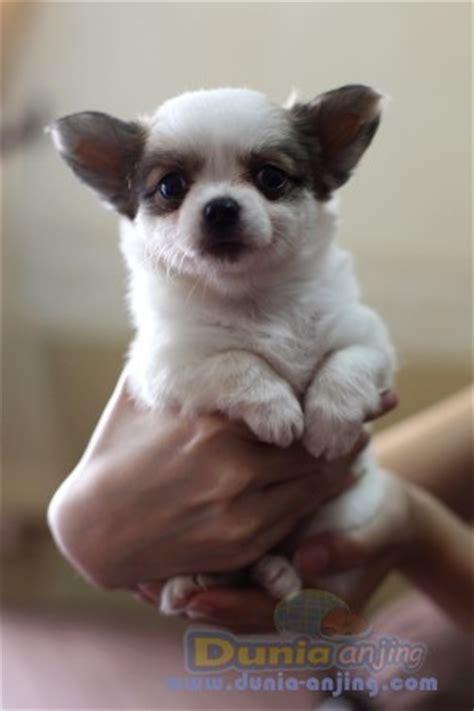 dunia anjing jual anjing chihuahua jual anakan