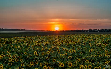 sunflower sunset background high quality  backgrounds