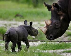 Black rhinos: Poaching of critically endangered species ...