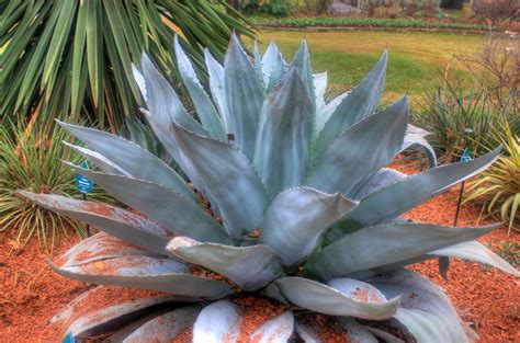 whales tongue agave  public domain stock photo
