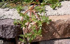 Portulak Pflanzen Kaufen : wilder portulak saatgut portulacca oleracea portulak ~ Michelbontemps.com Haus und Dekorationen