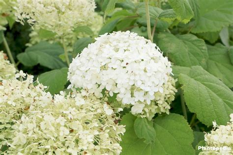 hydrangea arborescens annabelle hydrangea arborescens annabelle care planting growing and pruning plantopedia
