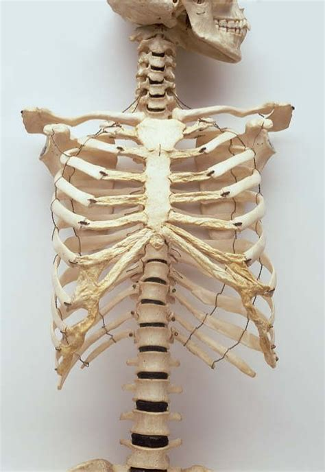 typical human rib cage consists   ribs  sternum