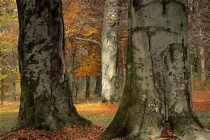 Bäume Umpflanzen Jahreszeit : buchenst mme im englischen garten foto bild b ume jahreszeit herbst bilder auf fotocommunity ~ Orissabook.com Haus und Dekorationen